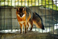 Northern Grey Fox Urine gfurin