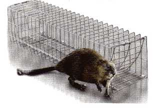 Muskrat Collapsible Colony Trap  fmct