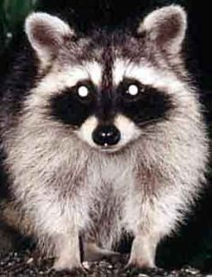 Northern Raccoon Urine Racuri